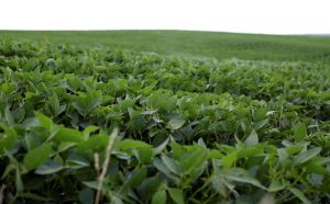FILE PHOTO: Soybeans grow in a field on BJ Reeg's farm in Bellevue, Iowa, U.S., July 26, 2018. REUTERS/Joshua Lott